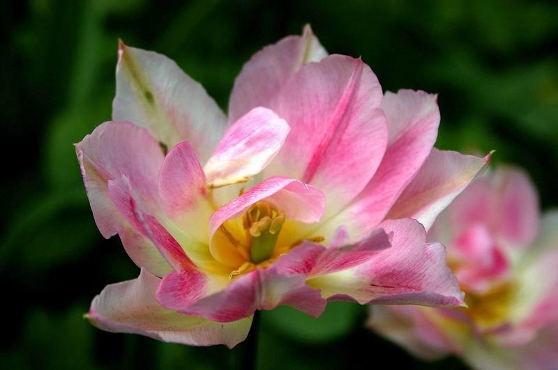 Цветы май 2005 г аптекарский огород